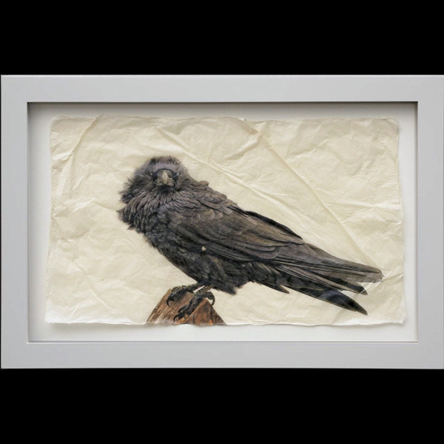 Raven gampi print in white frame by Pete Zaluzec