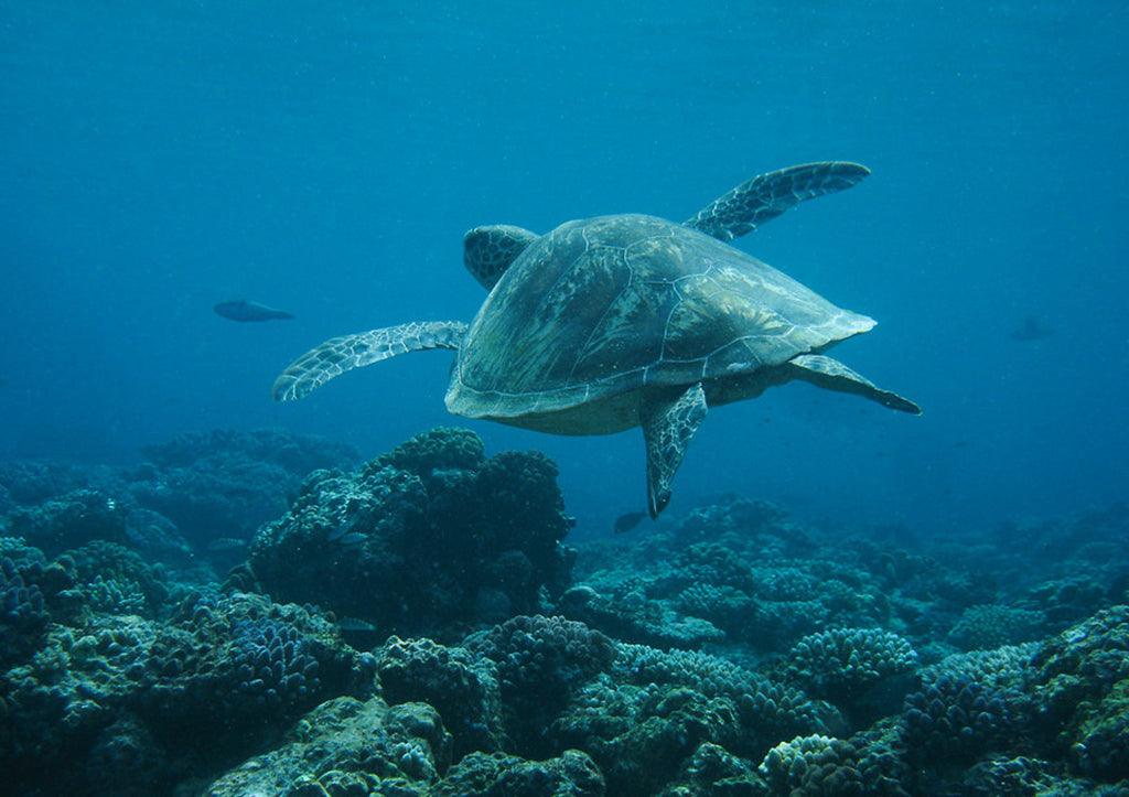 Green Seaturtle