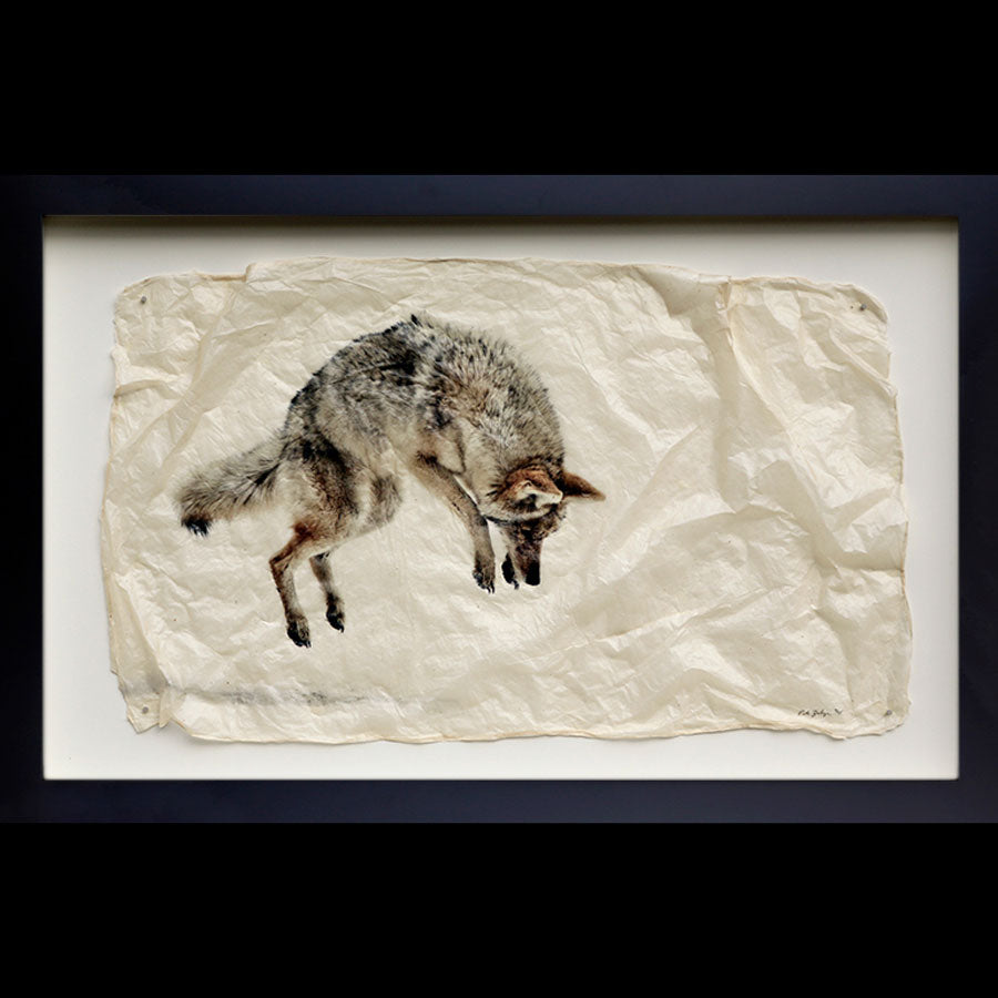 The pounce a coyote jumping into the snow gampi wildlife print by artist Pete Zaluzec on black frame