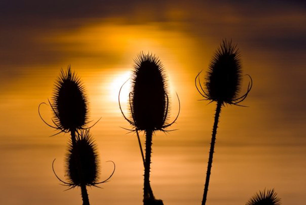 Thistle Sunset Ripples