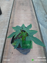 Load image into Gallery viewer, Papaya - Papaya (10cm) - Biodiverse Development
