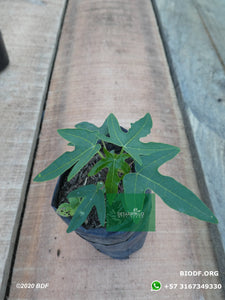 Papaya - Papaya (10cm) - Biodiverse Development