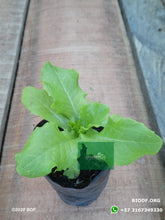 Load image into Gallery viewer, Lechuga Lisa  - Lettuce (5cm) - Biodiverse Development