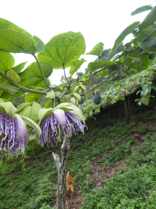 Passion Fruit - Granadilla - Biodiverse Development