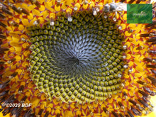 Load image into Gallery viewer, Girasol 50-70cm (orgánica) - Biodiverse Development