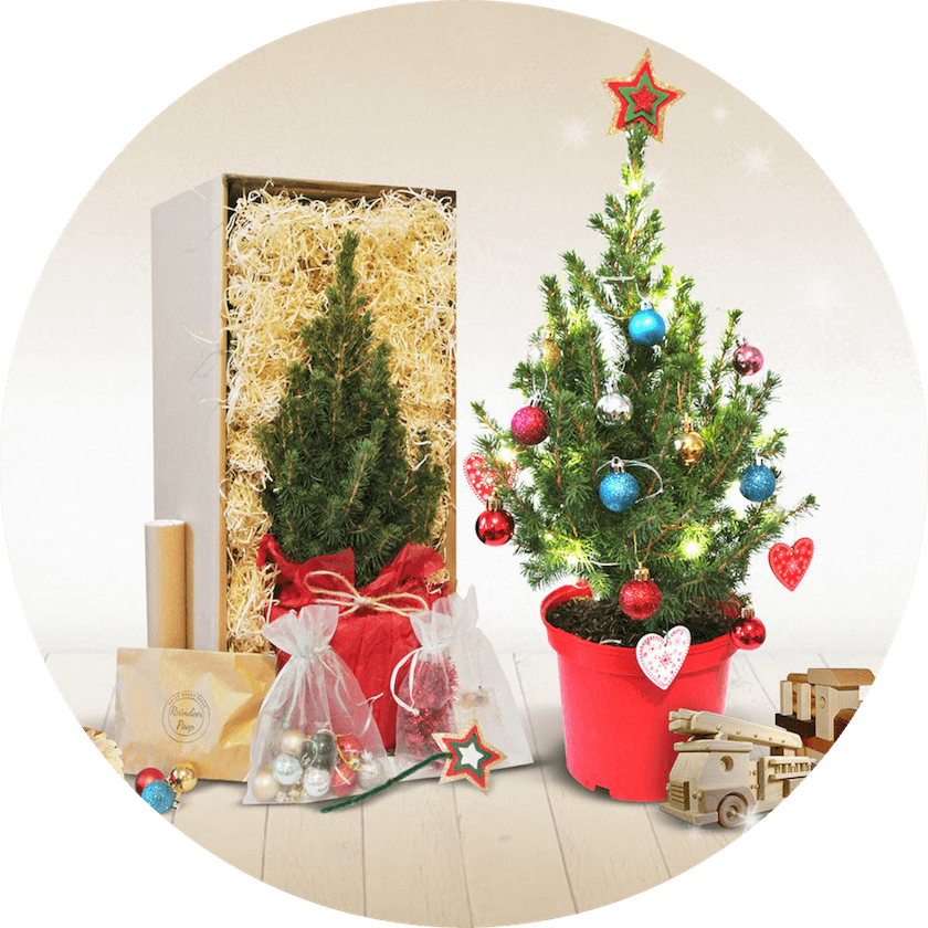 Holly Berry Trees - Mini Sustainable Christmas Trees in pots for kids - London Christmas Tree Rental