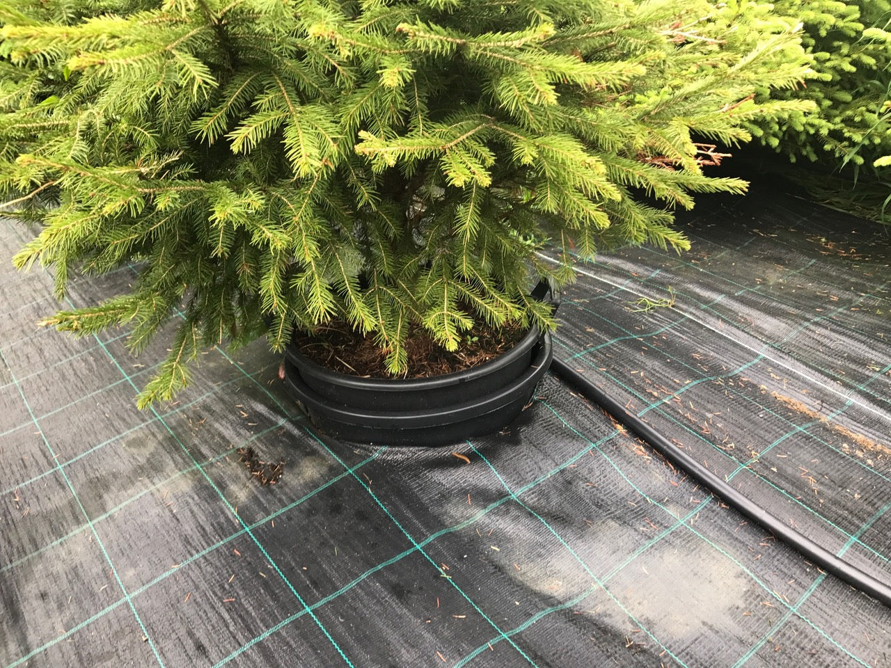 How Long Does It Take To Grow A Christmas Tree.London Christmas Tree Rental Sustainable Pot Grown