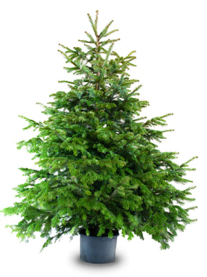 Sustainable Christmas Tree in pot - London Christmas Tree Rental