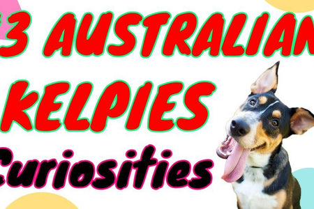 13 Curious Facts You Did Not Know About Australian Kelpies