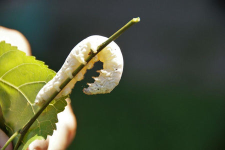 SILKWORMS INFORMATION