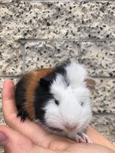 Load image into Gallery viewer, Guinea Pigs - MALE AND FEMALE - BATHURST
