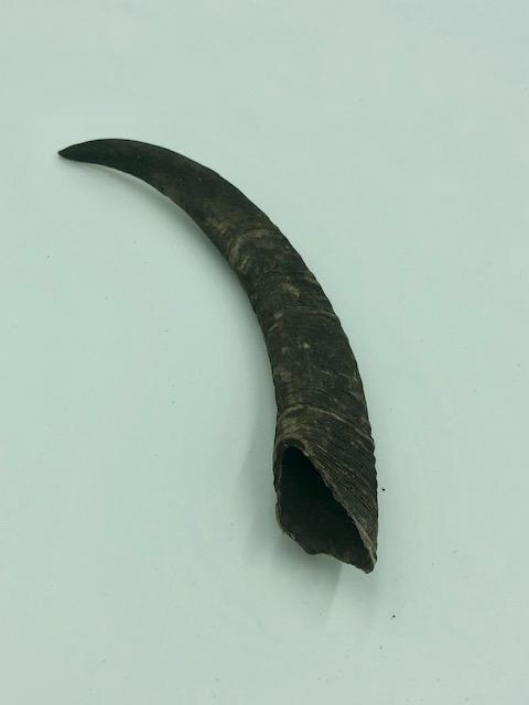 YUMMI PET GOAT HORN MEDIUM - City Country Pets and Supplies