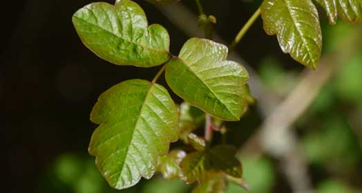 Poison Ivy FAQS