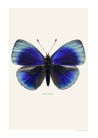 Asterope Leprieuri Butterfly Print