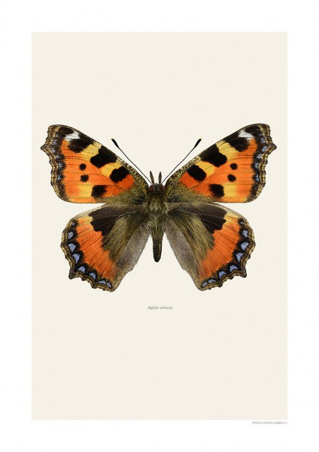 Aglais Urticae Butterfly Print