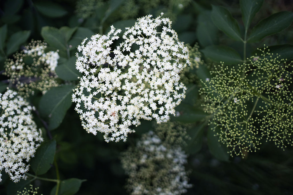 Discover: Elderflower