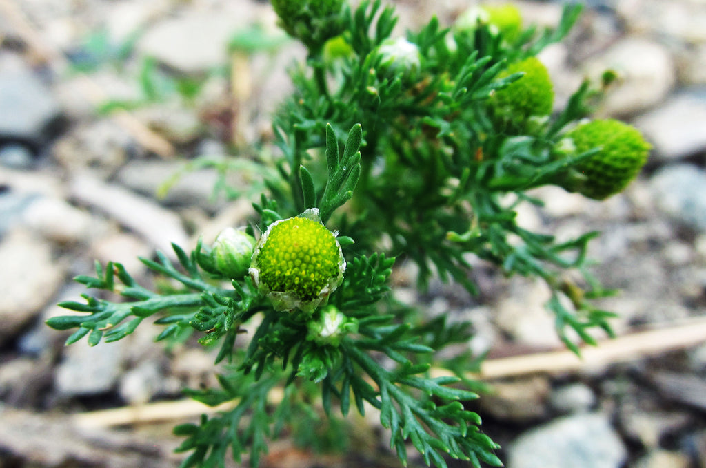 Discover: Pineapple Weed