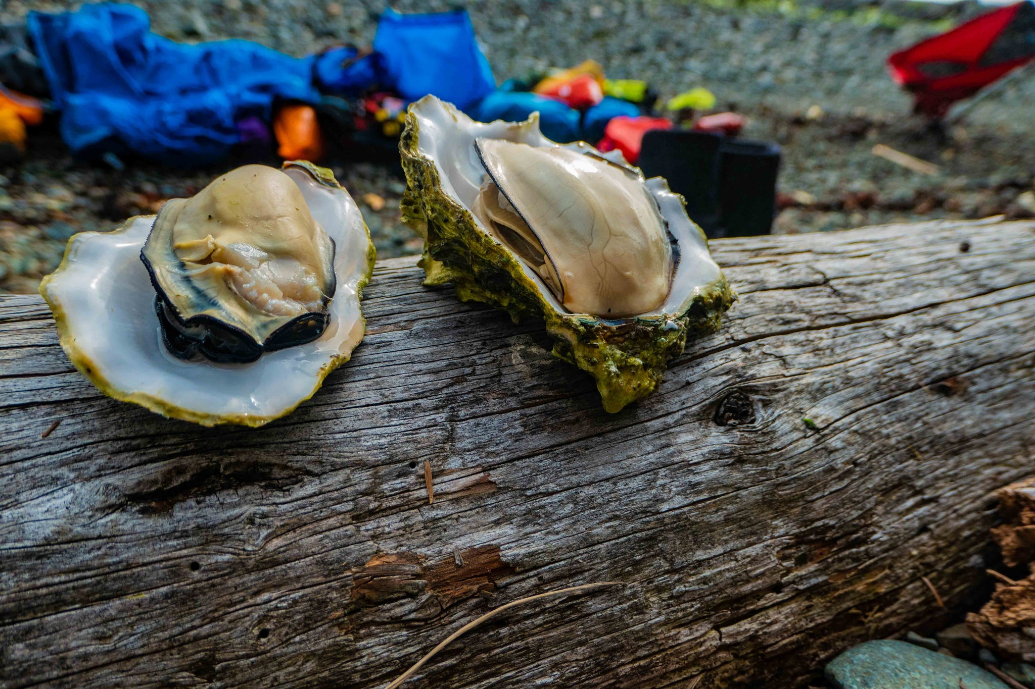 cooked oysters in their shells, on a log, ready to eat