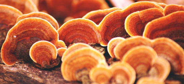 What are the health benefits of Reishi mushrooms?