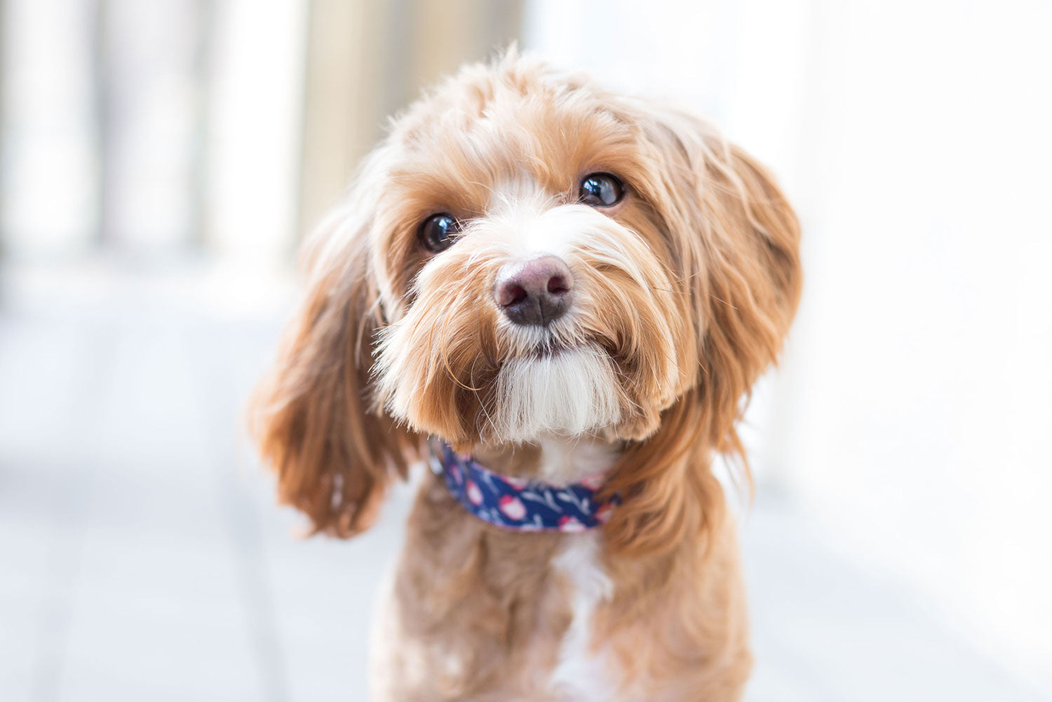 Diamond Valley Kennels Cavoodle