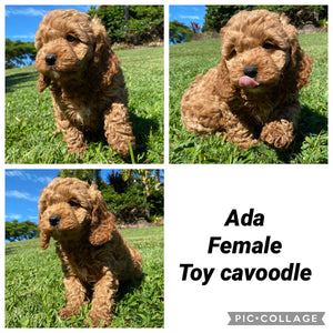 ADA - Female 1st Gen Toy Cavoodle - Ready 12th May 21