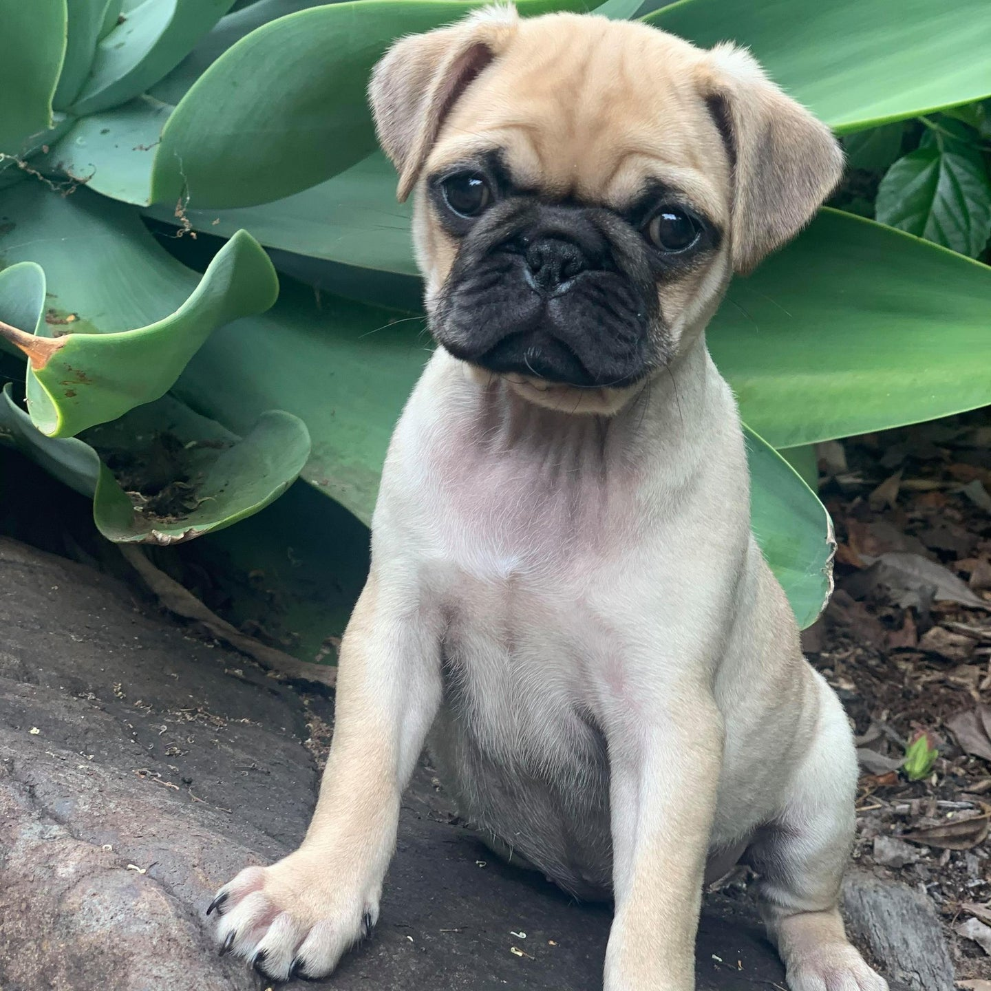 ANGEL - Female  Pug X - Ready 27th Feb