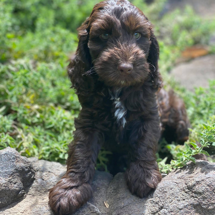 LAMINGTON - Male Toy/Mini Spoodle - Ready now