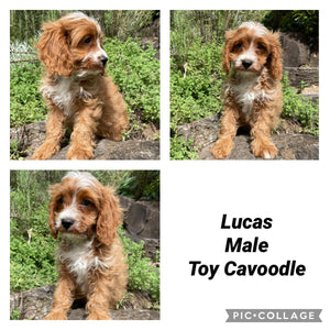 LUCAS - Male Toy Cavoodle - Ready Now!
