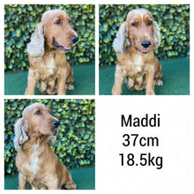 Load image into Gallery viewer, MACEY - Female Mini Spoodle - Ready Now