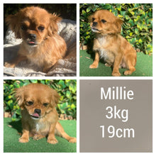 Load image into Gallery viewer, MILO - Male Cavoodle X - Ready Now!