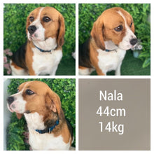 Load image into Gallery viewer, NADIA - Female Beaglier - Ready Now