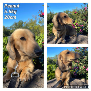 JAVIER - MALE Miniature Dachshund L/H - Ready 1st December - Collection Sunshine Coast