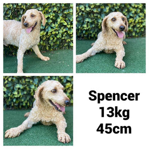 MILEY - Female Mini Spoodle - Ready Now