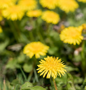 About Dandelions