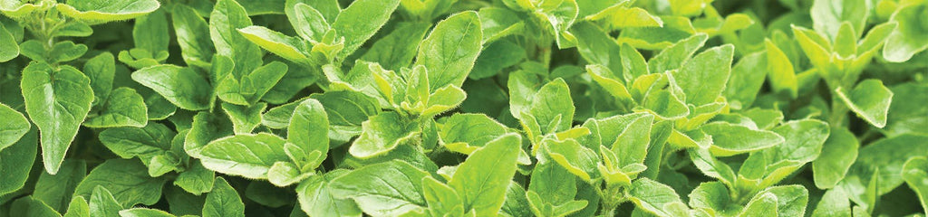 About Marjoram and Oregano