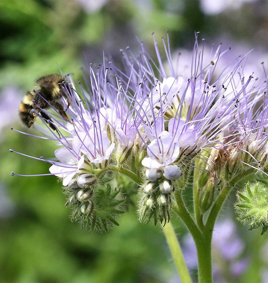 Improve Pollination with Phacelia