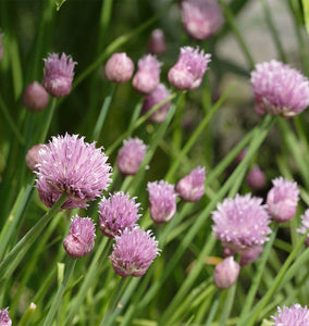About Chives