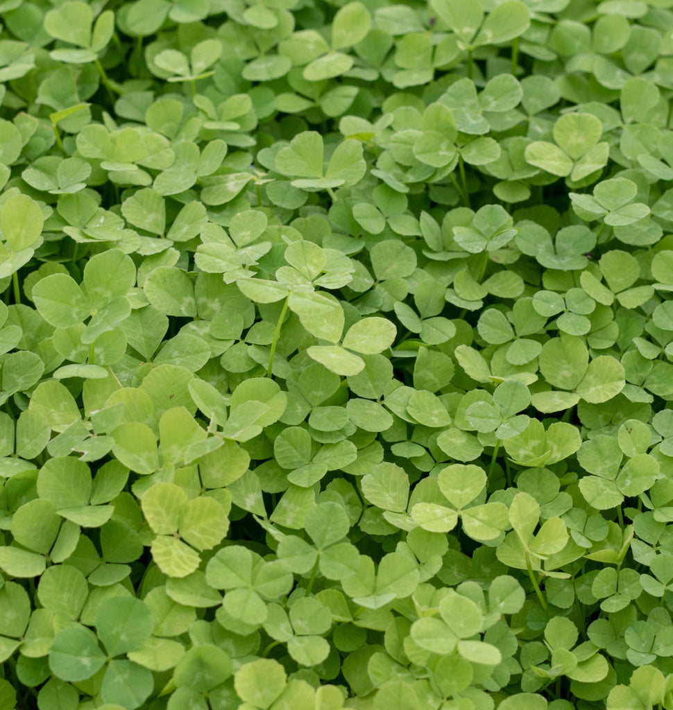 How to Grow Micro Clover