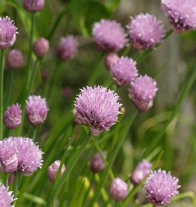Commit to Grow Day 2: Chives
