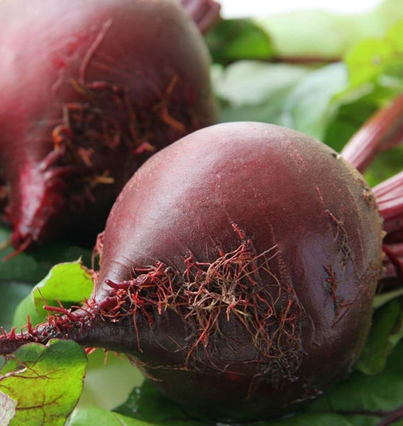 Red Ace Beet Seeds BT166 1