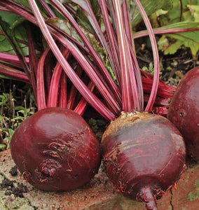 Red Ace Beet Seeds BT166 2