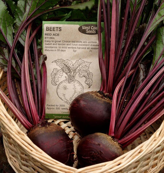 Red Ace Beet Seeds BT166 4