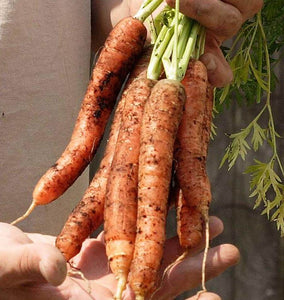 Scarlet Nantes Carrot Seeds CR296 1