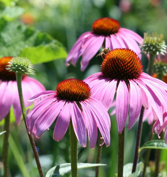Coneflowers Purple