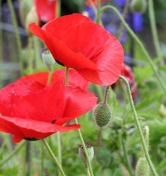how to grow poppies Flanders Poppy