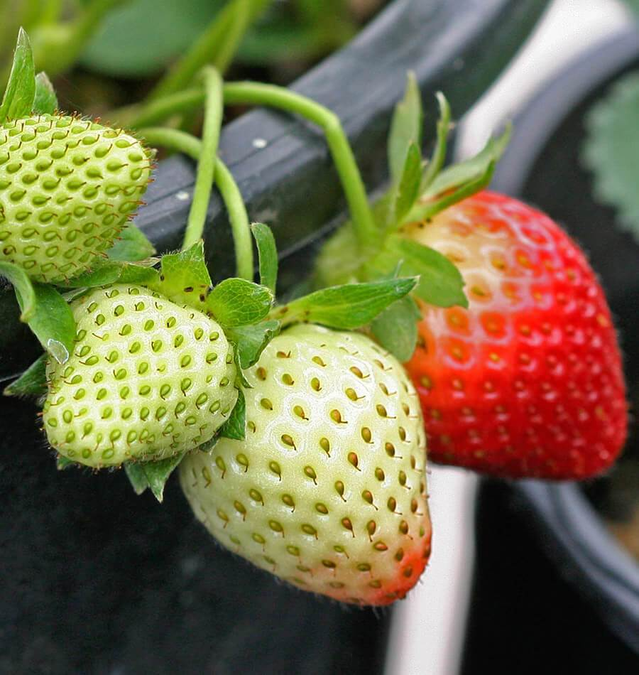 Fresca Strawberry Seeds FR830