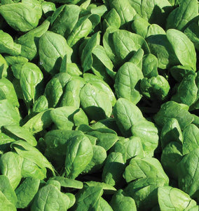 Renegade Organic Spinach Seeds SP714-1