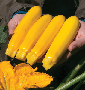 Yellowfin Organic Zucchini Seeds