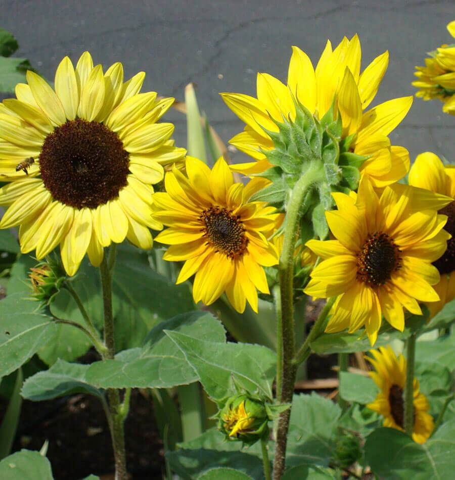 Short Blend Sunflowers