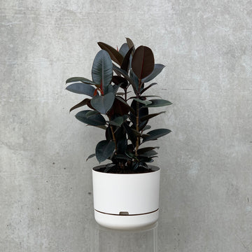 Burgundy rubber tree in a white pot.